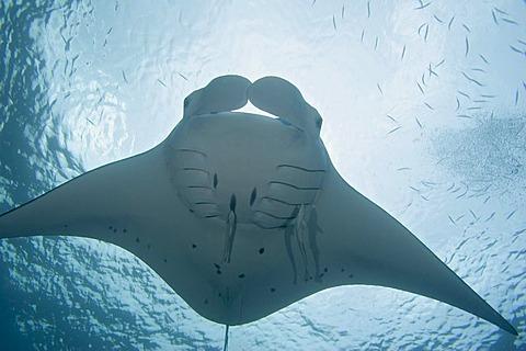 Micronesia, Palau, Manta ray (Manta birostris) with remora.